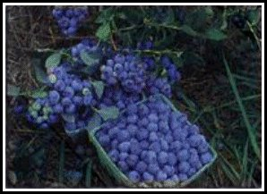 Lowbush Berries